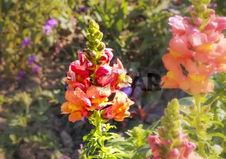 Gladiolenblüte im Blumenbeet