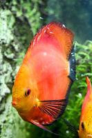 Diskusfisch mit Nachwuchs der sich von der Schleimhaut der Elterntiere ernährt.