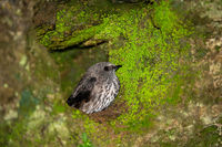 A small gray native bird in its nest