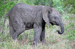 Junger Elefant im Regen, Kruger Nationalpark Südafrika; young african elephant in the rain, south africa, wildlife