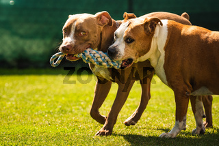 Two dogs amstaff terrier playing tug of war outside. Young and old dog fun in backyard.