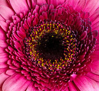 Abstract macro of a gerbera flower blossom