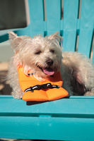 Smiling West Highland Terrier dog in a Halloween costume nautical orange life vest