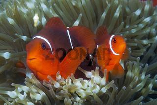 Paar Stachel-Anemonenfische, Papua Neuguinea