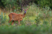 Roe deer doe looking to the camera near green bush in summer nature