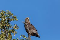 majestic tawny eagle Botswana Africa safari wildlife