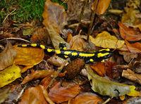 Feuersalamander, salamandra salamandra, fire salamander