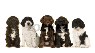 Five cute labradoodle puppy dogs sitting together isolated on a white background looking at the camera