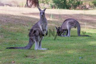 Two kangaroos on a grassy patch near bush land