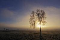Birken im Morgennebel