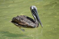 Brauner Pelikan (Pelecanus occidentalis)