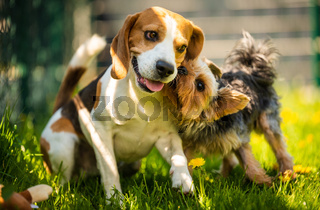 Cute Yorkshire Terrier dog running with beagle dog on gras on sunny day.
