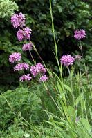 Gewöhnliche Pechnelke (Silene viscaria, Syn. Lychnis viscaria) , Blütenstand mit rosa Blüten