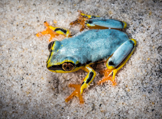 Boophis tree frog of Madagascar