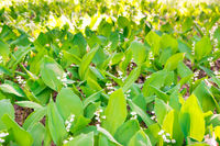 Green field of lily of the valley