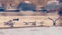 Seagulls on the beach of the danube river in Regensburg with the stone bridge in background with snow in winter
