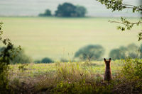 Back view of calm red fox sitting at the edge of meadow and looking away