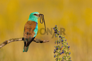 Colorful european roller sitting on a branch and holding snake in beak in summer