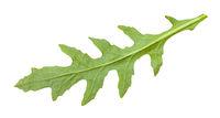 back side of fresh leaf of Arugula plant isolated