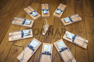 Mouse surrounded by mousetraps