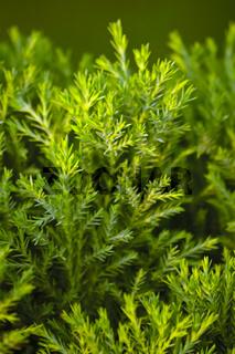 Golden Bottle Brush, River Tea Tree, Black Tea tree, Prickly Leaved Tea Tree, Melaleuca bracteata