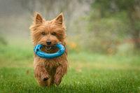 015--Australian Terrier, November.jpg