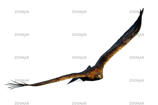 Adult golden eagle flying forward from front view isolated on white background
