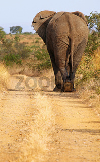 Elefant geht über die Straße im Kruger Nationalpark Südafrika; african elephant crossing the street, south africa, wildlife