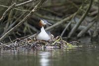 Haubentaucher auf Nest, Podiceps cristatus, Great crested Grebe on nest