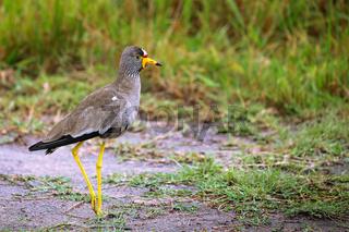 Senegalkiebitz im Lake Mburo Nationalpark in Uganda (Vanellus senegallus) |  African wattled lapwing