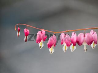 Nahaufnahme der Blüten des Tränenden Herzes (Lamprocapnos spectabilis) vor neutralem Hintergrund