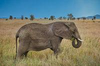African elephant in savannah grass against blue sky