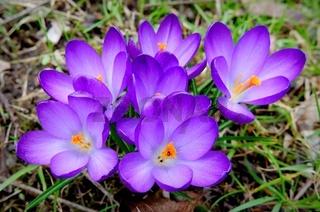 violette Krokusse auf einer Wiese im Frühling