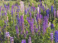 purple lupins flowers in field