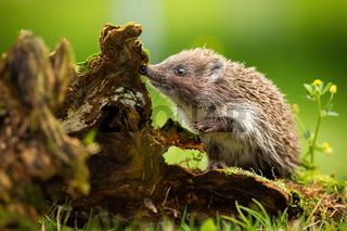 Cute young northern white-breasted hedgehog climbing stump and sniffing