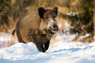 Tough wild boar running on a snowy meadow covered in snow in wintertime.