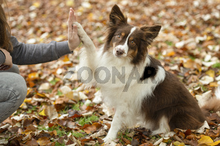 Dog being trained by its owner tto give a high five outdoors in a forest lane during autumn