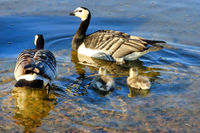 Family of Barnacle Geese Swimming