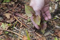 Eingeschleppte Pflanzenarten