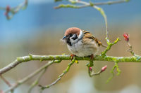 Eurasian tree sparrow collecting material for its nest