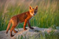 Immature red fox standing on den in summer nautre.