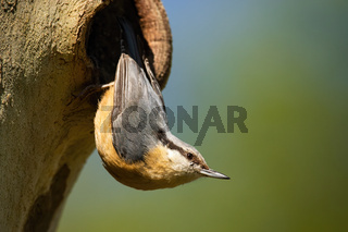 Small eurasian nuthatch nesting on tree in summer.