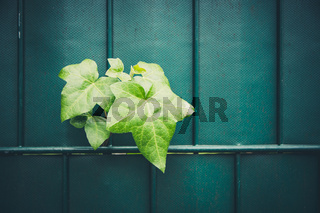 Ivy plant breaks through the fence