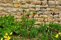 Frühblüher an einer Trockenmauer