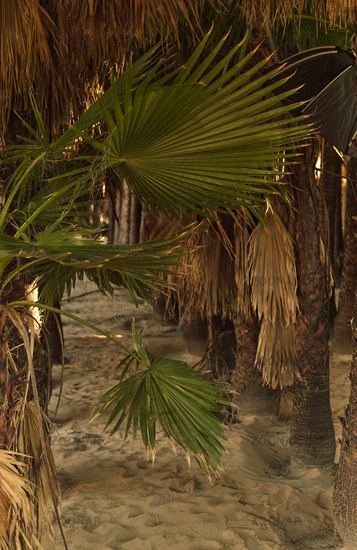 Palm trees in a row and empty sandy pathway