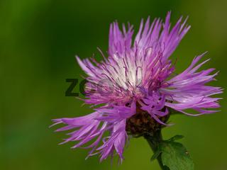 Gewöhnliche Flockenblume
