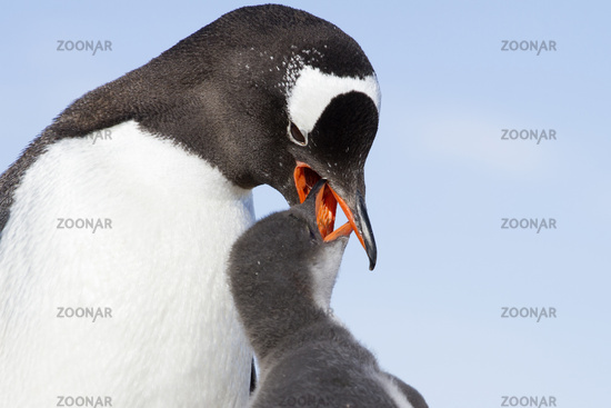 female Gentoo Penguin that feeds a chick