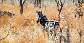 Rear view of an African Zebra
