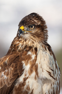 Vertical close-up portrait of a wild common buzzard in wintertime
