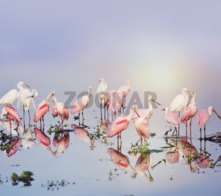 Roseate Spoonbills and Great Egrets in the pond